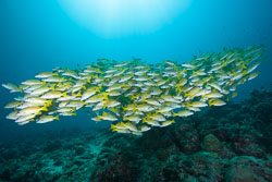 BD-150424-Maldives-8085-Lutjanus-kasmira-(Forsskål.-1775)-[Common-bluestripe-snapper].jpg